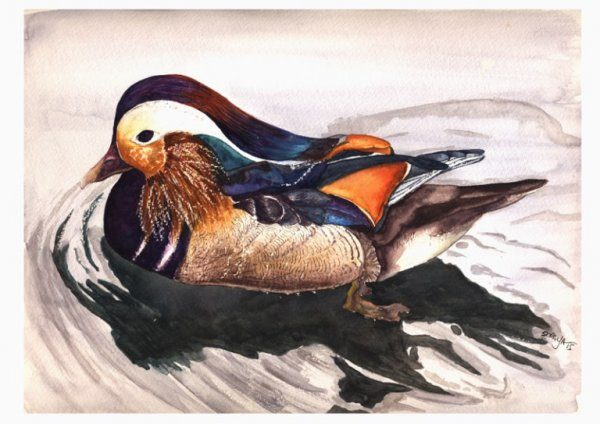 422696_mandarin-duck-web
